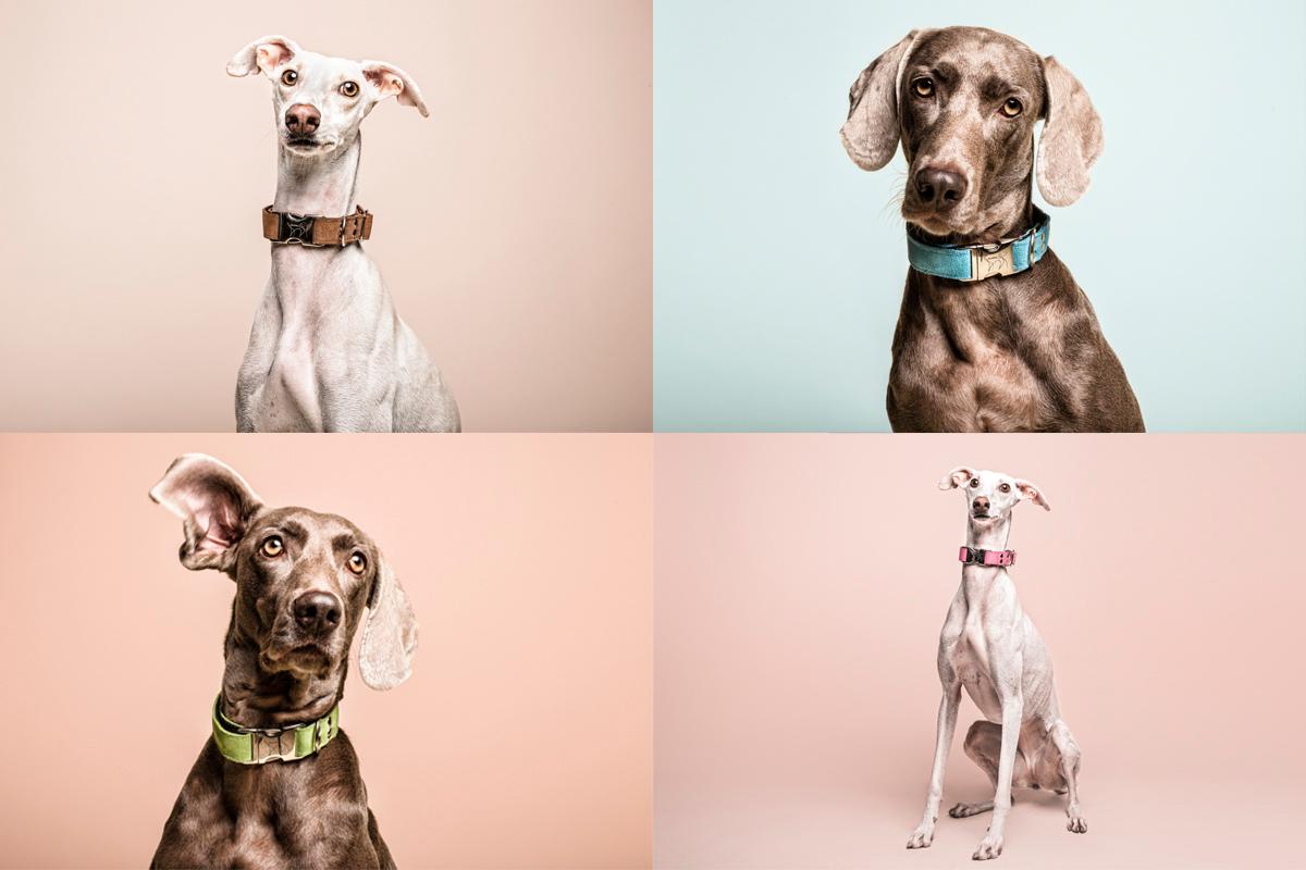 Galgo-&-Weimaraner-mahera-dogs