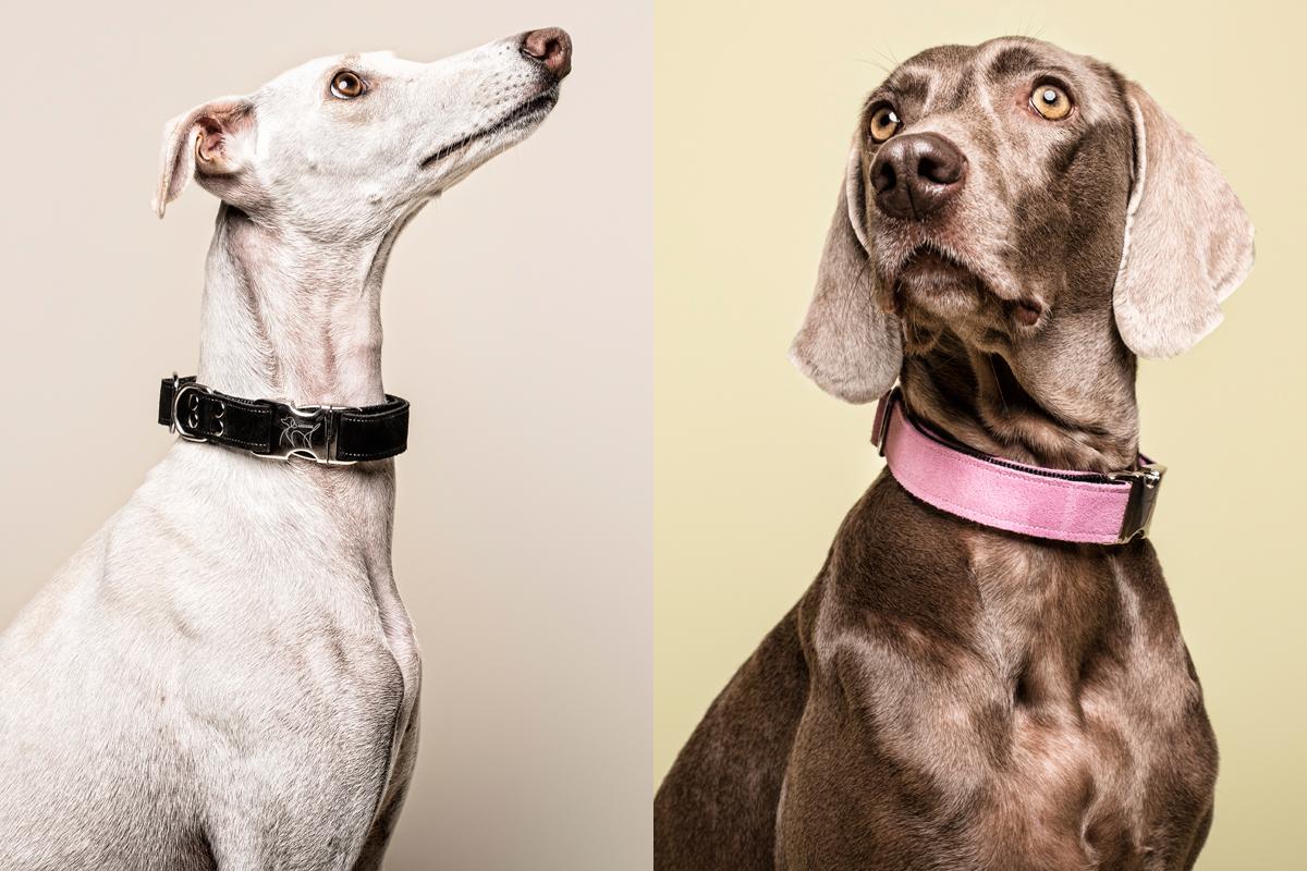 Galgo y Weimaraner Mahera Dog Collar