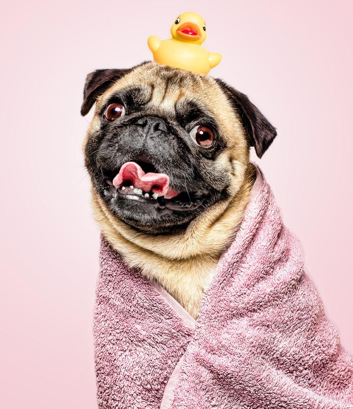 fotografo de perros carlino con pompas patito de goma para Gloria Pets