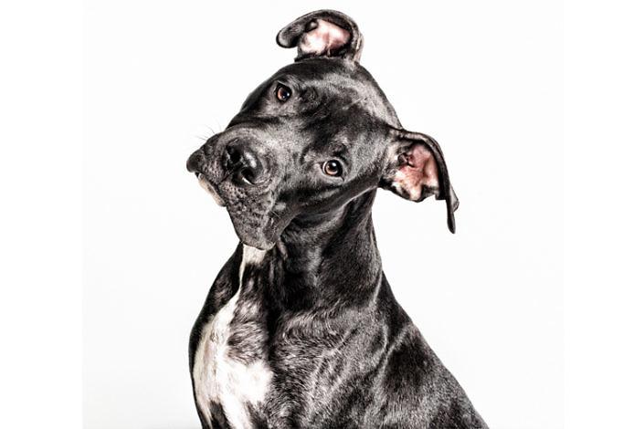 Pitbull negro en adopción