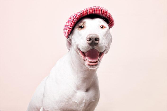 American Stafford con gorra. Fotógrafo de perros Santos Román.