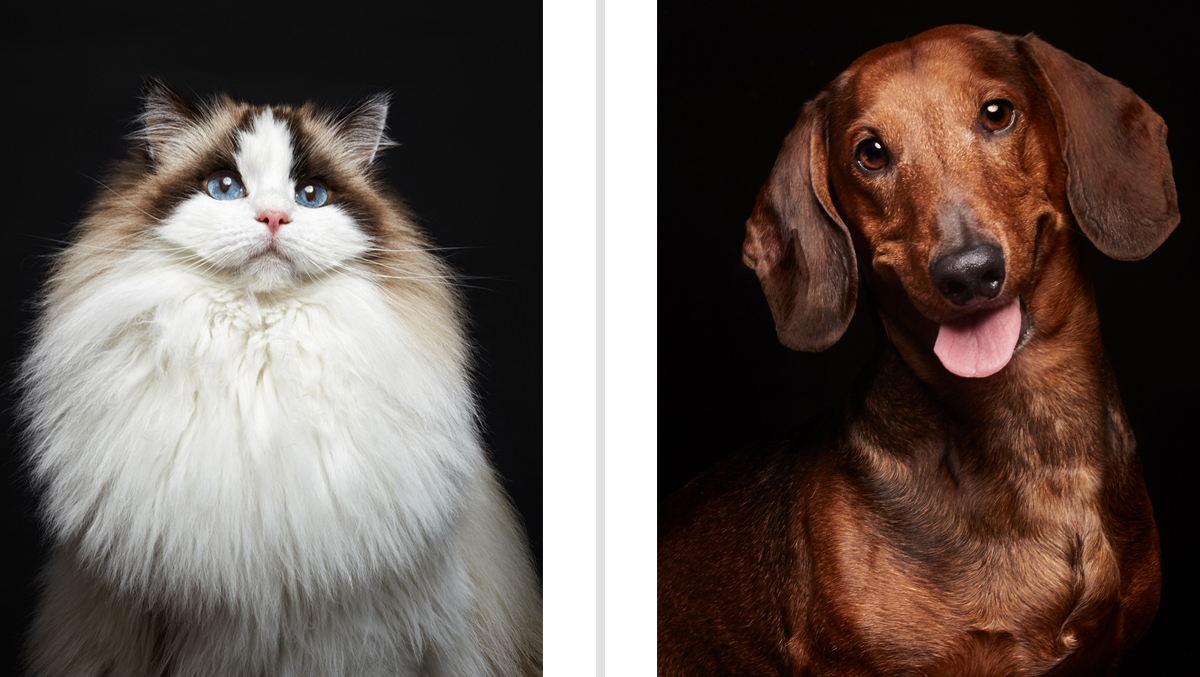 Gato Ragdoll y perro salchicha