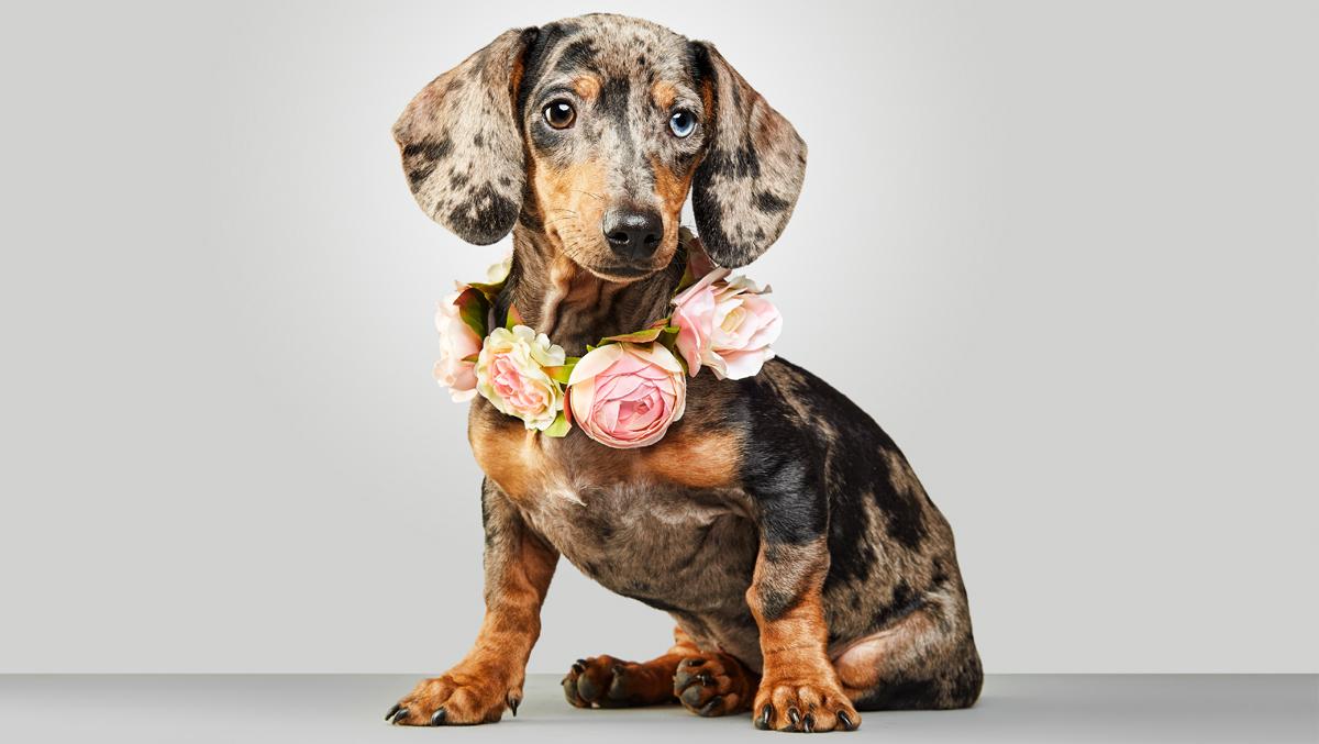 Fotografia de tackel cachorro