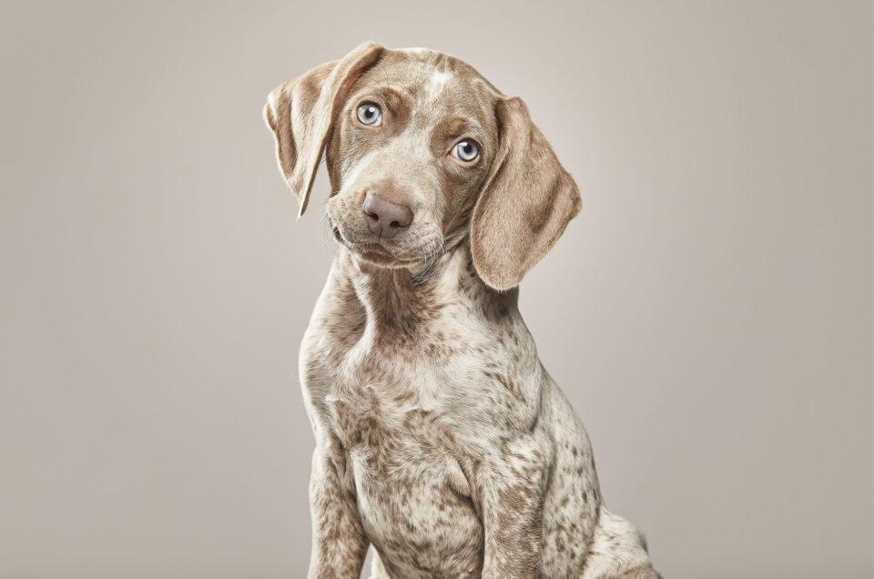 perro-de-terapias-Braco-de-Weimar
