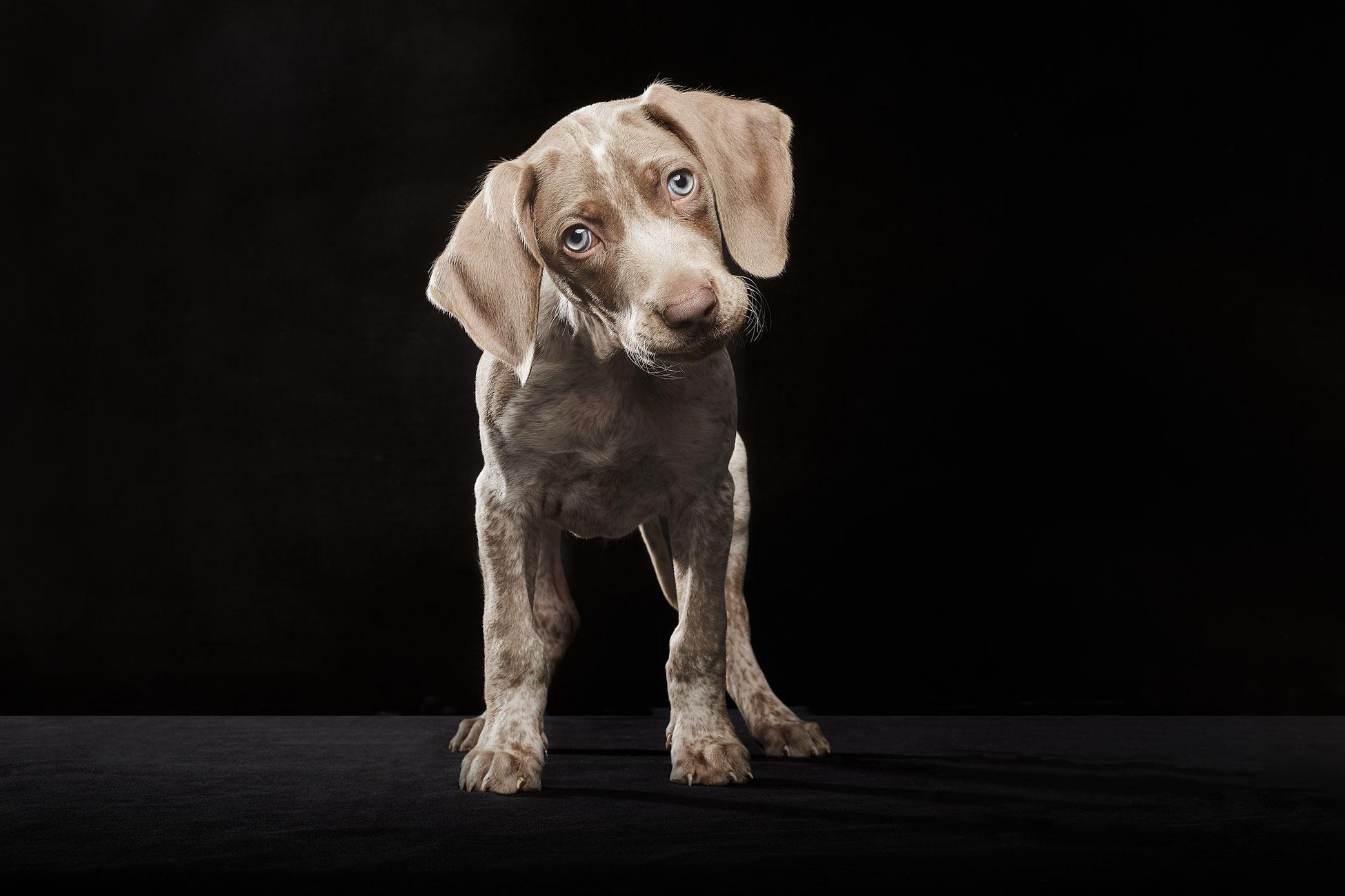 terapias-asistidas-con-perros-Braco-de-Weimer